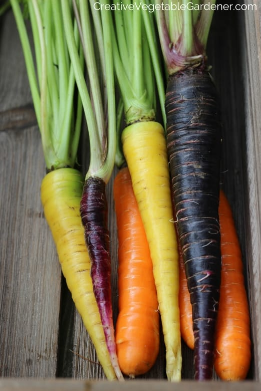 rainbow of carrots from garden