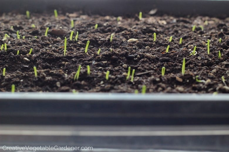 Onions Seed Starting