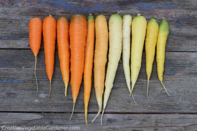 rainbow of carrots are colorful vegetables to grow