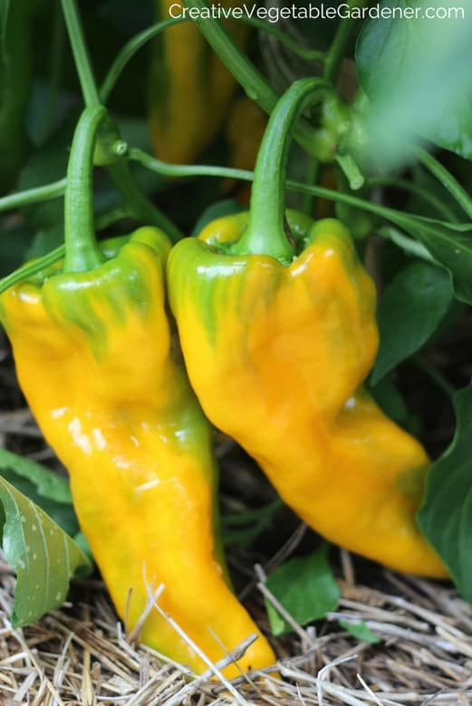 yellow peppers in garden