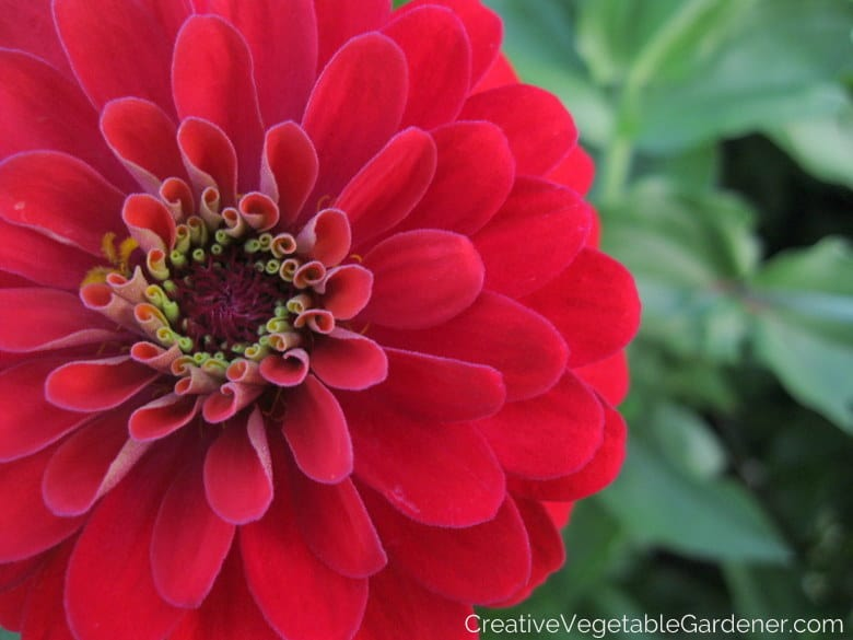 zinnias are one of the best seeds to start at home