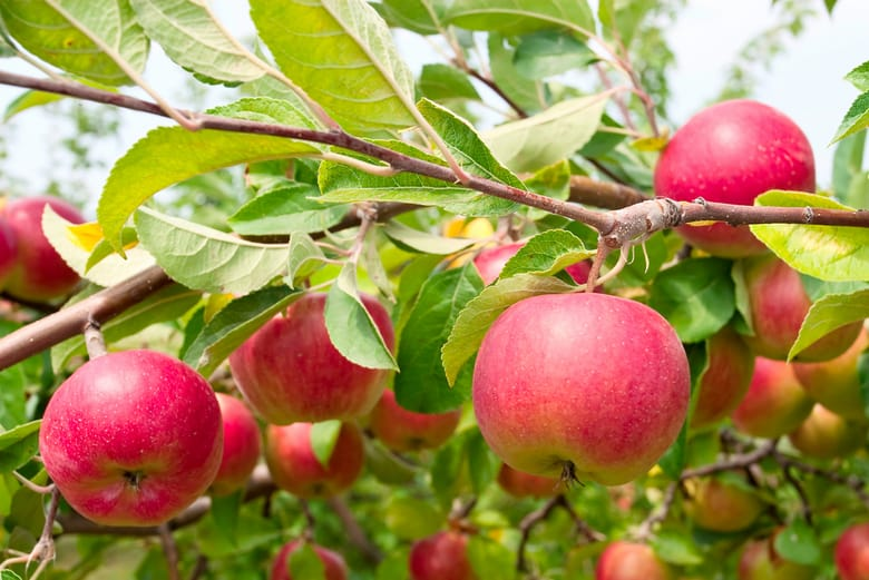 Photos Of Apple Fruit Tree
