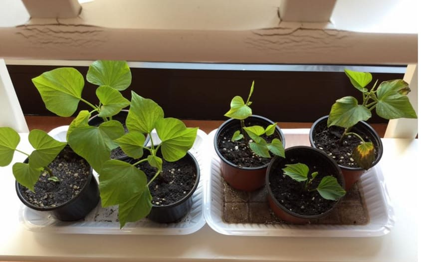 growing sweet potato plants at home