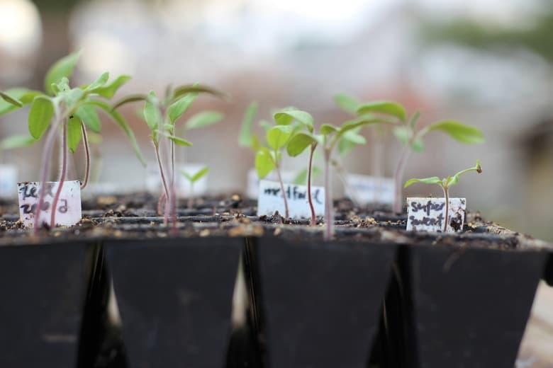 tomato seedlings for vegetable garden