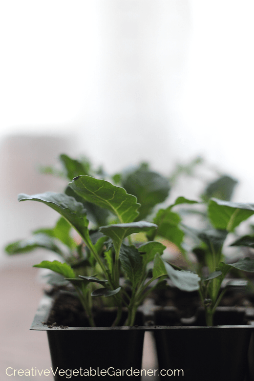 buying vegetable plants for garden