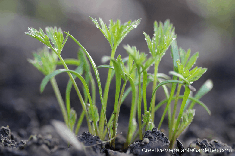 carrots geminating from the soil