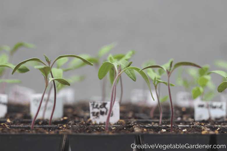 tomato seedlings where to buy vegetable plants