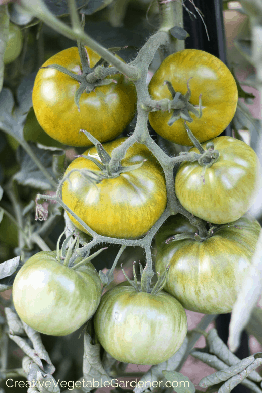 growing tomatoes on diy cages