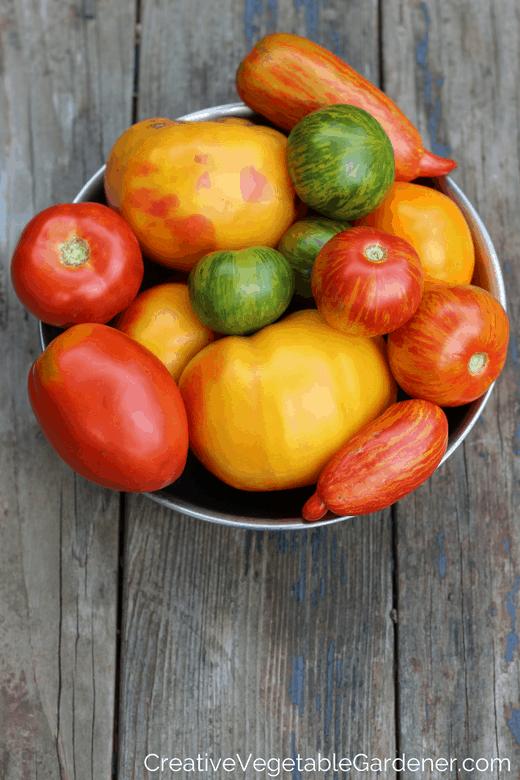 tomato harvest from garden