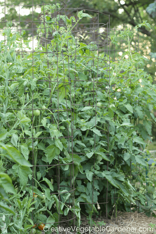 tomato cages in the garden