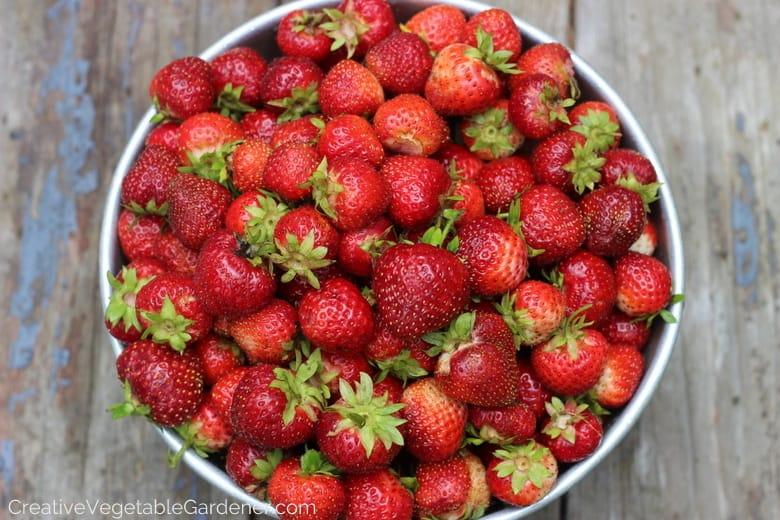 fresh strawberries from garden in colander