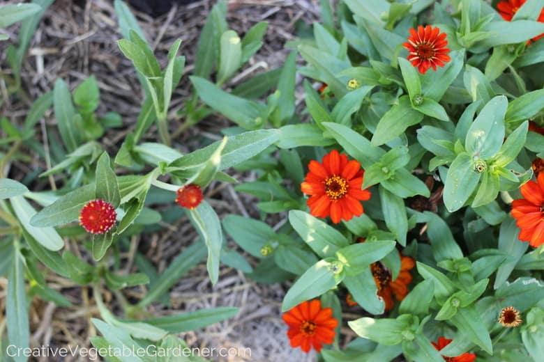 vegetable garden flowers in orange and red