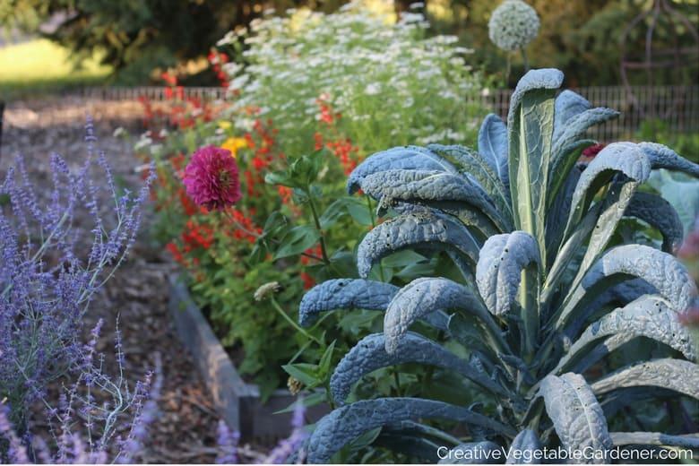 lacinato kale in vegetable garden