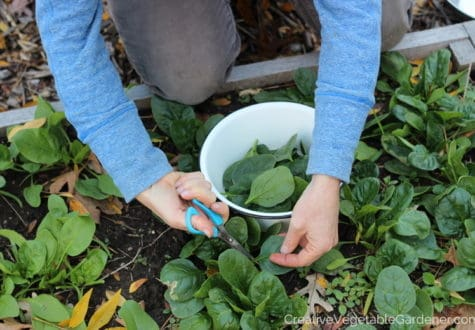 woman harvesting spinach from garden bed