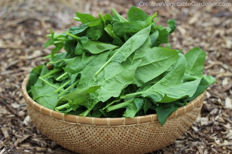 bowl of garden spinach