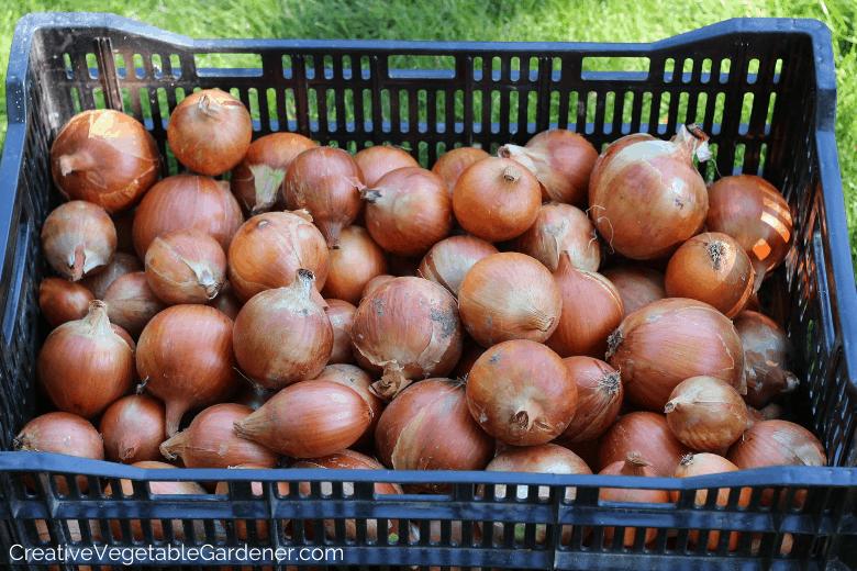 onion harvest for food storage