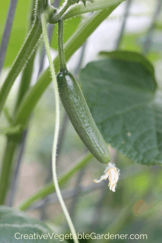vegetable on trellis