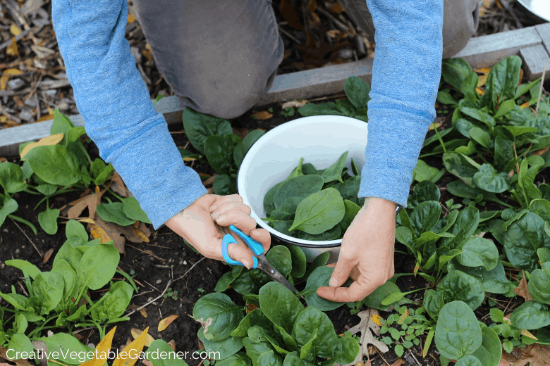 spinach harvesting in fall garden