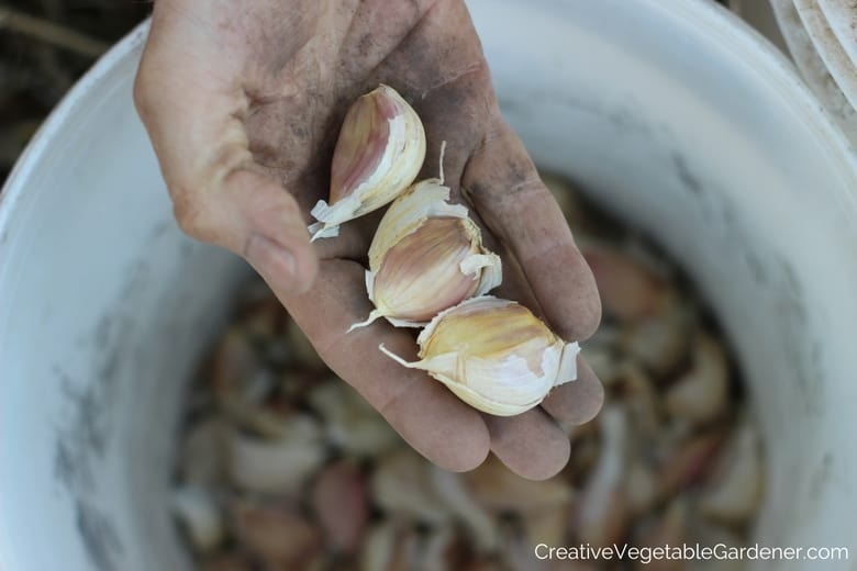 what garlic varieties to grow