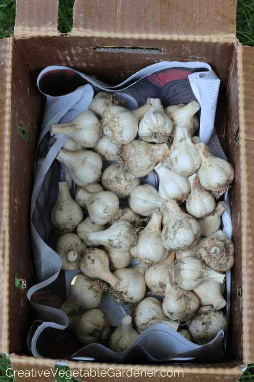 choosing garlic varieties