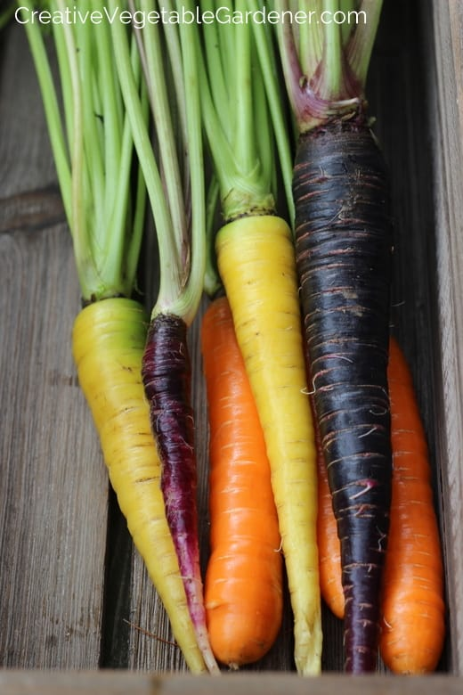colorful carrots in garden