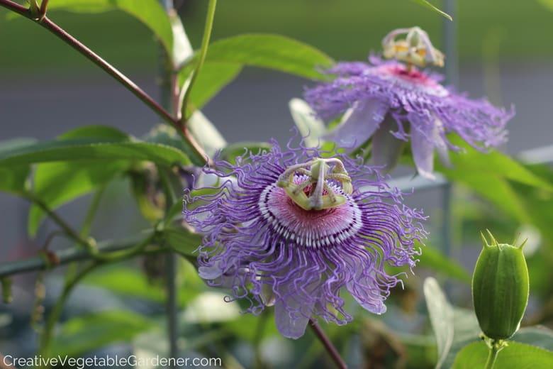 vines-flowering