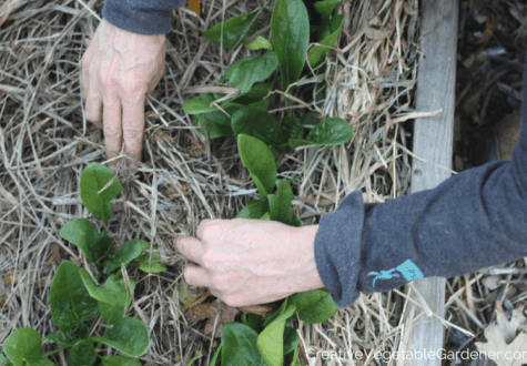 hands mulching a spinach bed in fall