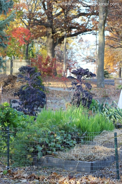 fall vegetable garden mulched for winter