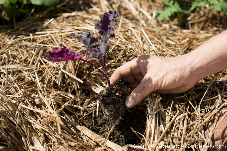 planting a kale seedling in a garden bed with mulch