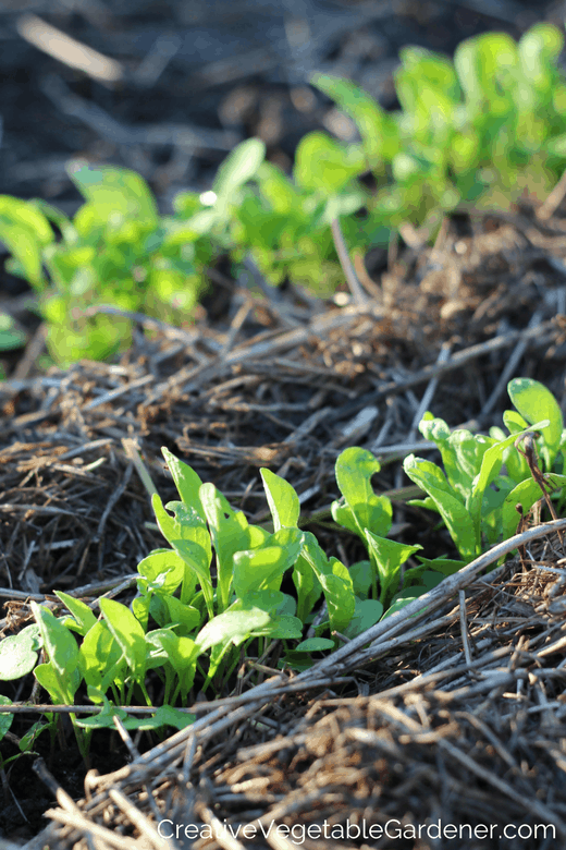 seedlings coming up in spring with mulch