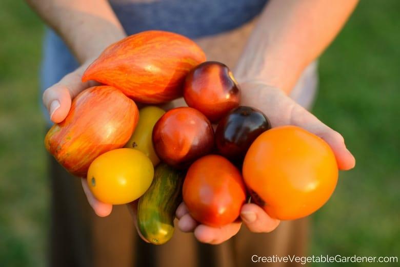 hands holding garden tomatoes
