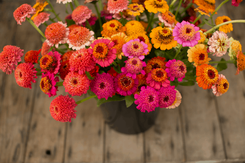 Available In A Brilliant Rainbow Of Colors These Cut And Come Again Plants Are An Essential For Any Flower Loving Gardener