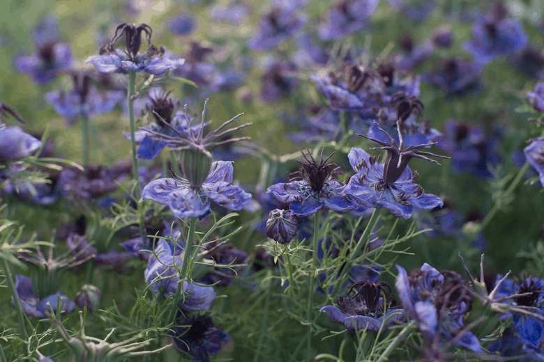 grow your own cut flowers nigella