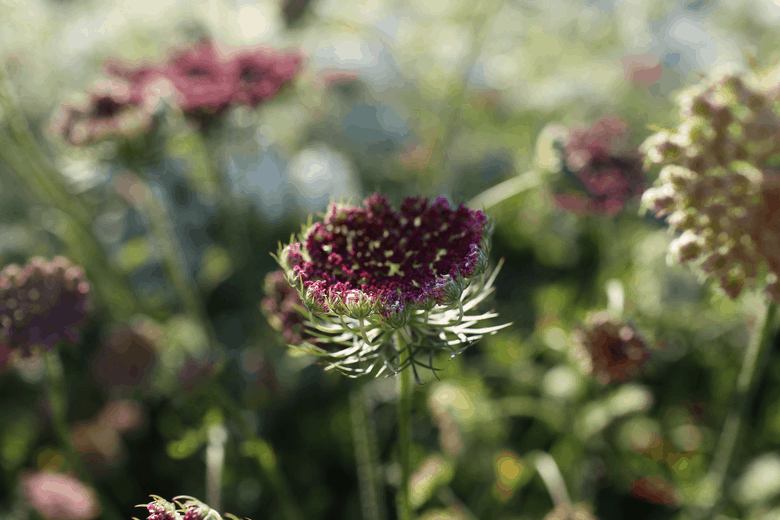 chocolate lace flower in garden