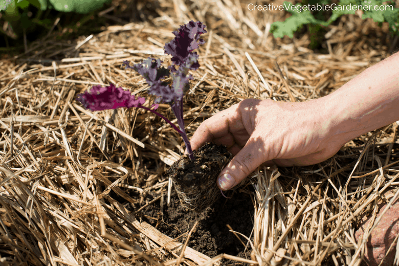 hand planting kale seedling