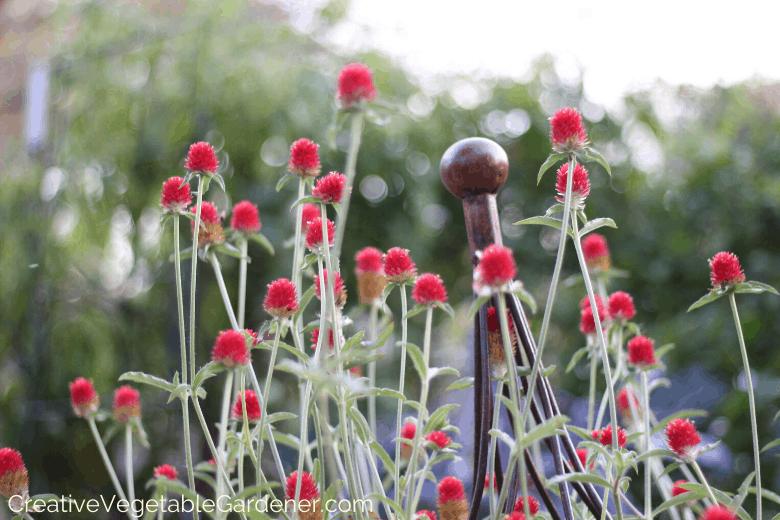 cut flowers for the garden globe amaranth