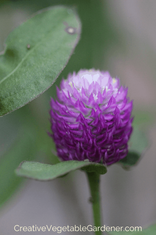 cut flower gomphrena