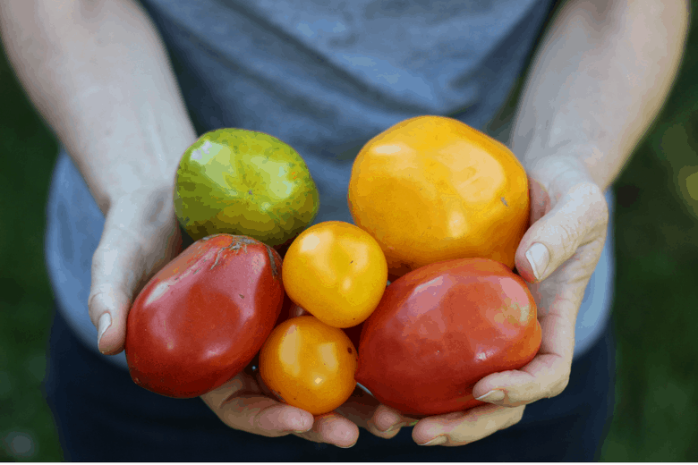 hands holding colorful garden tomatoes