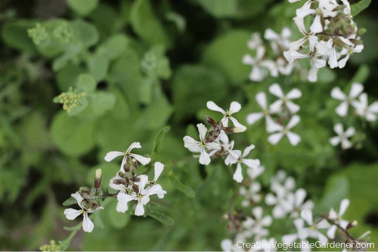 bolting arugula flowers