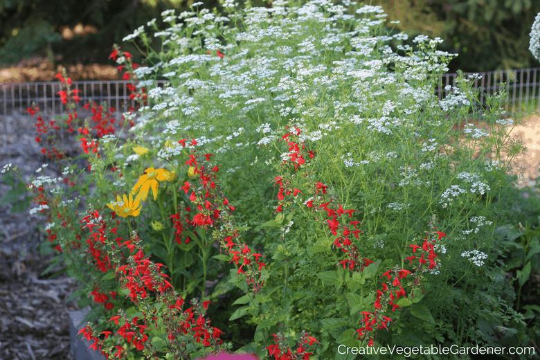 cilantro flowers bolting in garden
