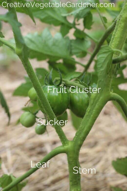parts of the tomato plant for removing suckers