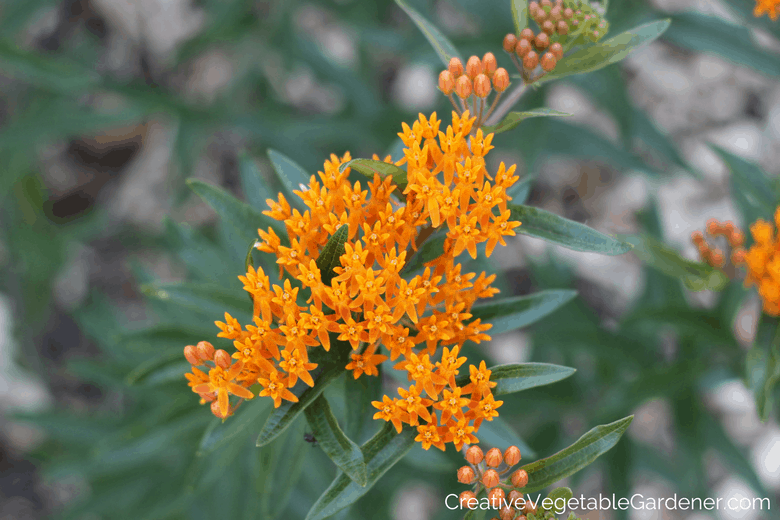 summer blooming perennials butterfly weed