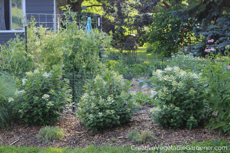 summer blooming perennials little quick fire hydrangea