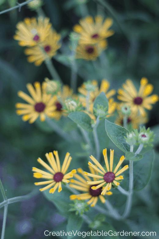 Summer blooming perennials rudbecia little henry