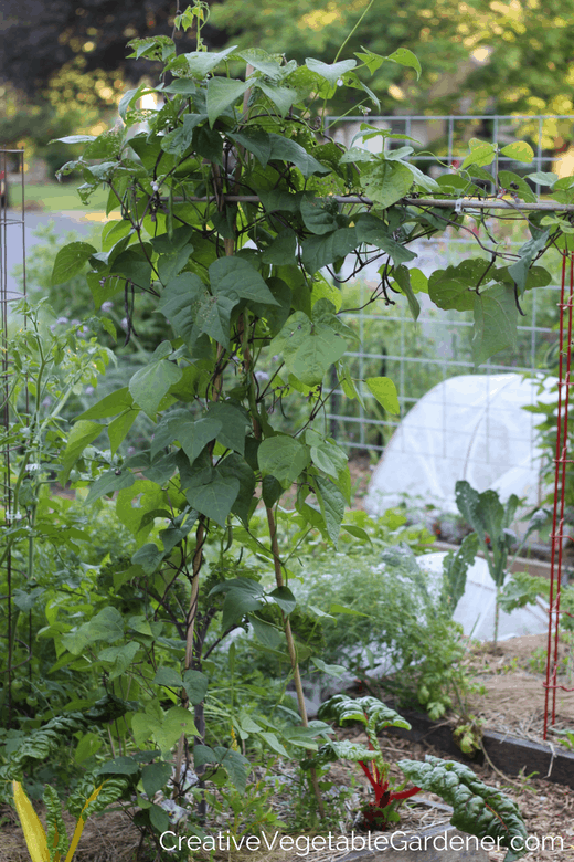 bean trellis with tips for growing a fall garden