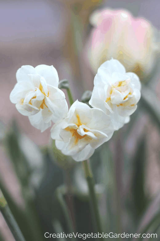 Bridal crown daffodil list of bulbs to plant in autumn