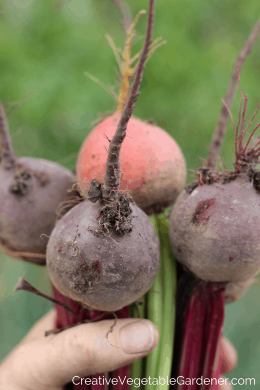 fall beets from garden and how to store beets