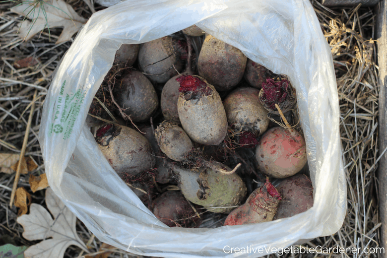 garden beets ready to be stored for winter