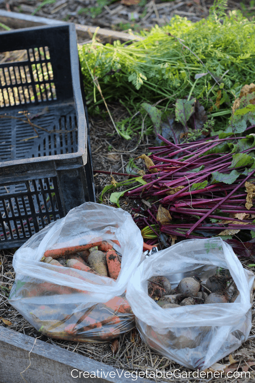 beets and carrot from garden for winter storage