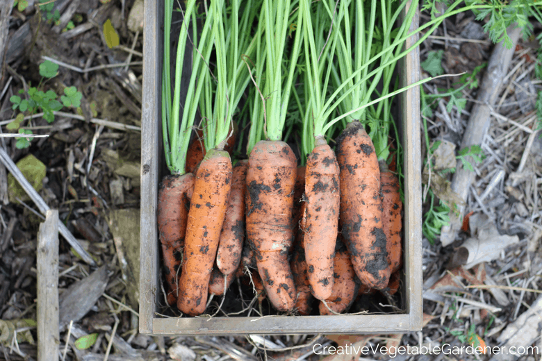 carrots from the garden for a simple and healthy vegetable side dish